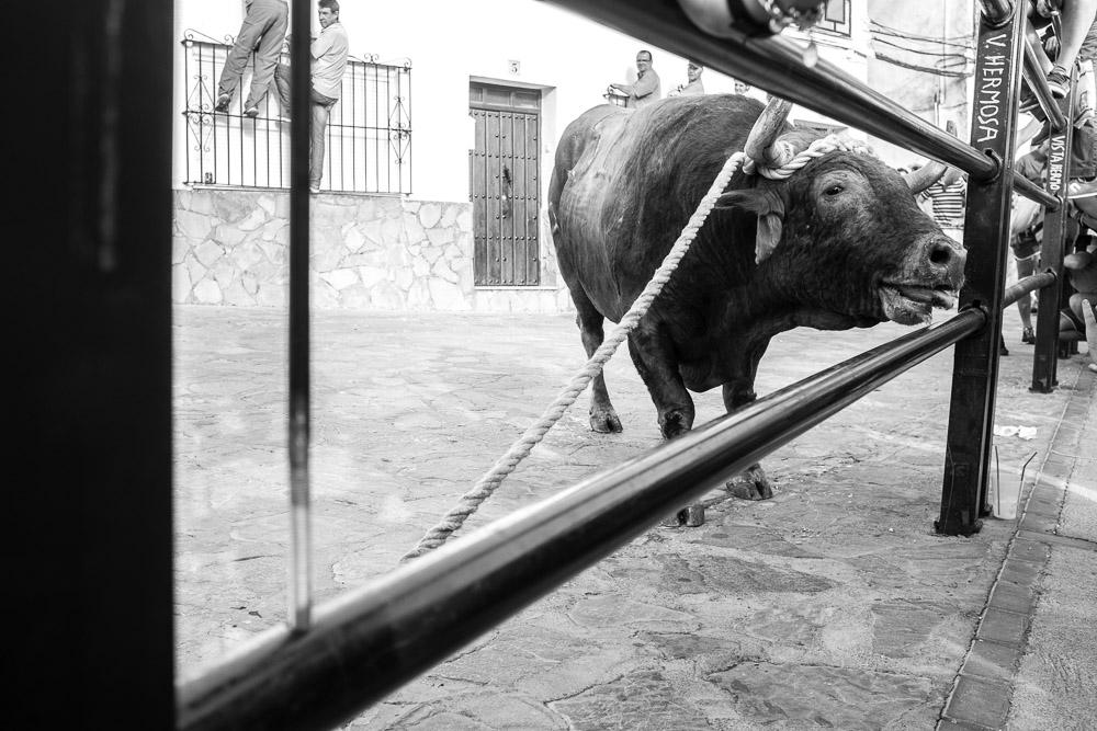 toro-cuerda-benaocaz-9