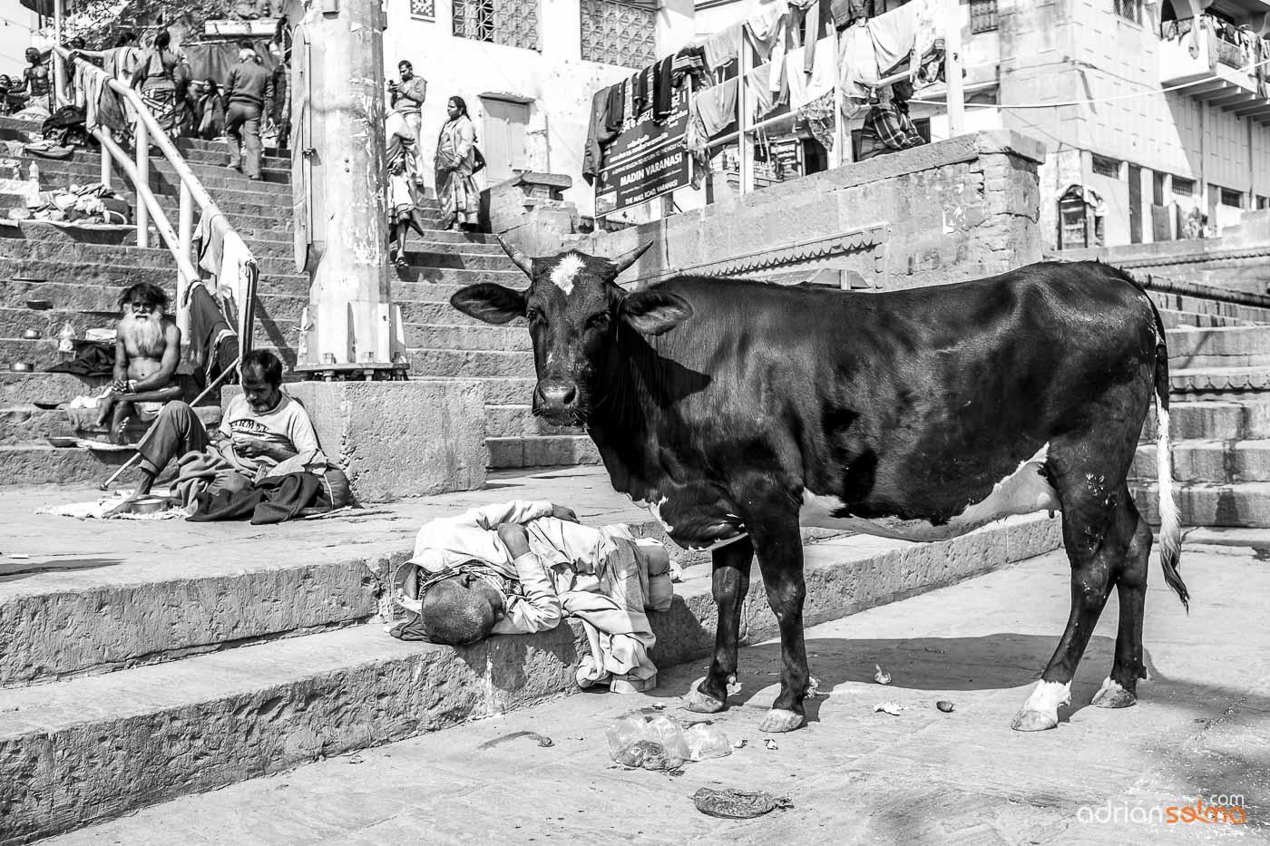 Las vacas sagradas deambulan por las calles de la India. Varanassi
